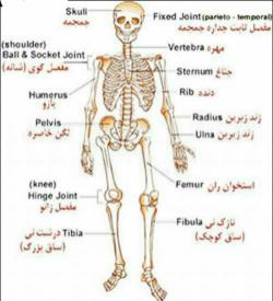 پاورپوینت انگلیسی در مورد رییس بدن چه عضوی است