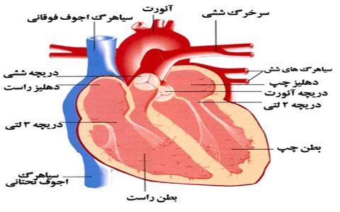 دانلود تحقیق آناتومی قلب
